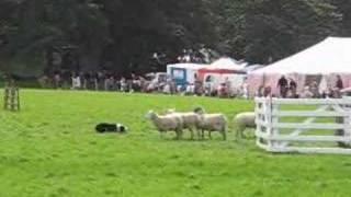 Sheep Dog Trials Hayfield Derbyshire