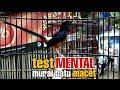 Pancingan Mental Murai Batu Agar Keluar Isian  Mp3 - Mp4 Download