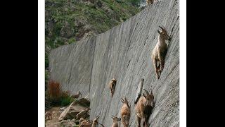 Rock Climbing Goats-Mountain Ibexs