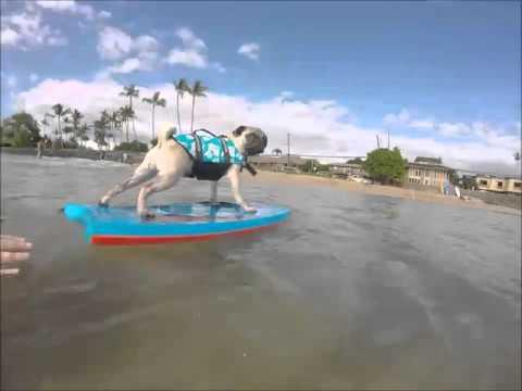 Kai the Maui pug Surfing- Kihei, Hawaii--- The Cove