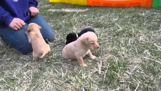 Miniature Lab Puppies.......