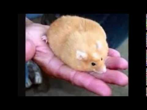 Fat Hampsters 37
