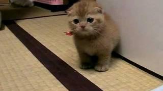 たわしねこ ごろん[cat walk]