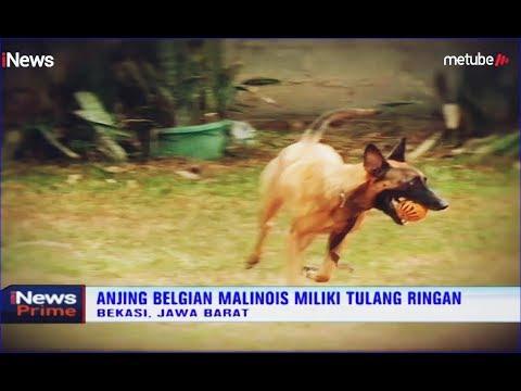 Anjing Belgian Malinois Termasuk Jenis Anjing Tempramen Inews Prime 04 09 Youtube