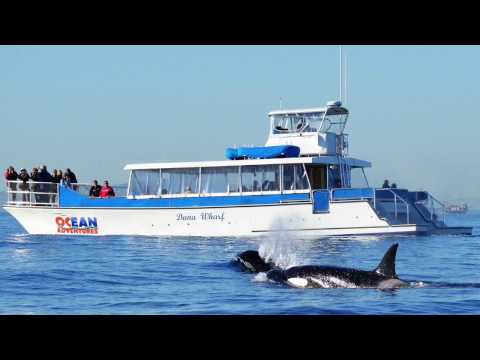 Offshore Killer Whales with Dana Wharf Whale Watching