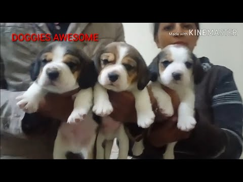 BEAGLE PUPPIES SALE AT LUDHIANA 9728644404,9416460444,