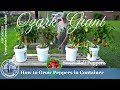 How To Grow Ozark Giant Sweet Peppers