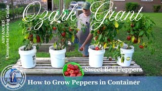 How to Grow Peppers in Containers (PROGRESSION) Growing Guide
