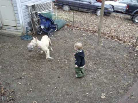 White Doberman And 2.5 Year Old
