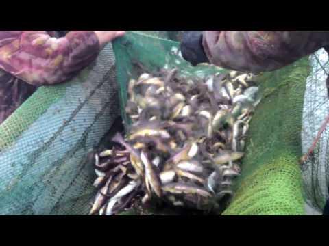 видео: Так ловят навагу на Белом море!!!
