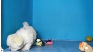 Bichon Habanero Macho Sta Ref:121 37 Venta De Perros. Comprar Cachorros De Perro