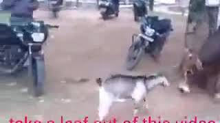 Goat vs Cow who is wins ? Strength or confidence whatsapp funny video