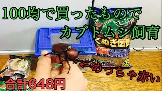 【カブトムシ、クワガタ虫】100均で買ったものでカブトムシ飼育してみた