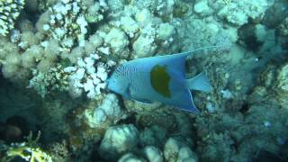 1306.00045 Yellowbar Angelfish Thumbnail