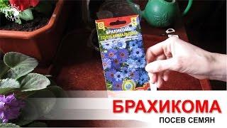 видео Брахикома. Выращивание из семян и правила ухода