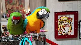 Educational video on Macaws & African Greys 💖