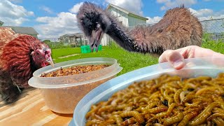 Who can eat more mealworms ▸ a BIG EMU or a LITTLE HEN?