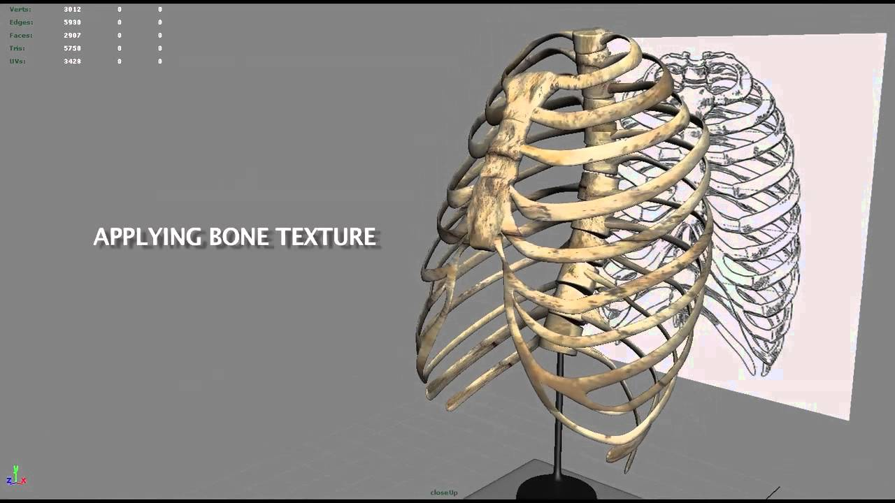 3d Modeling Of A Rib Cage Youtube