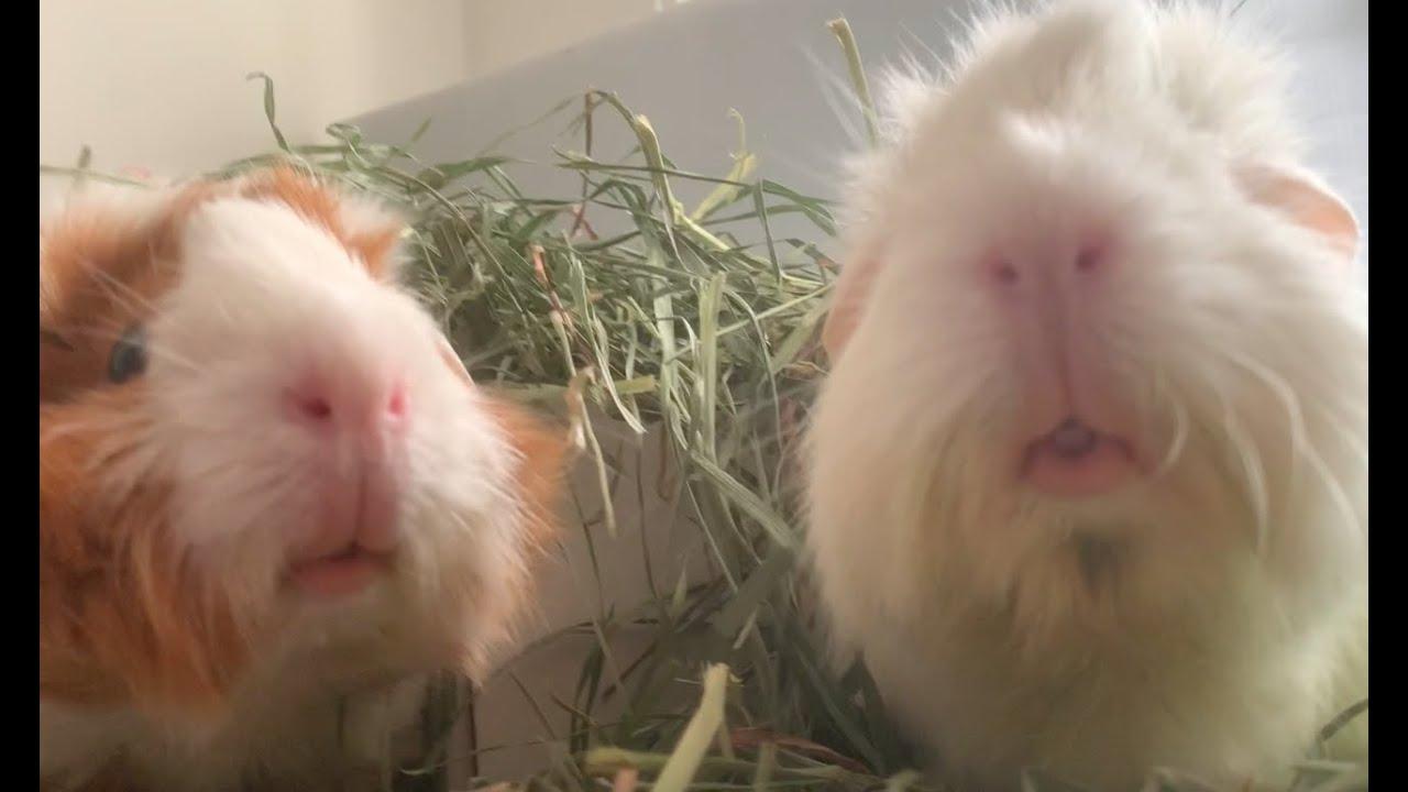 Guinea pigs enjoying their hay area