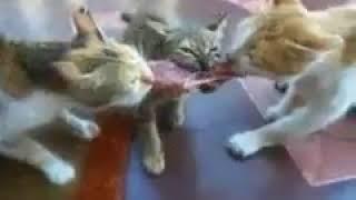 Коты дерутся с запуском мясо