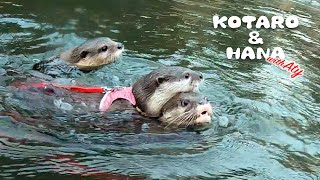 Three Little Otters Finally Swim inThe River Together!