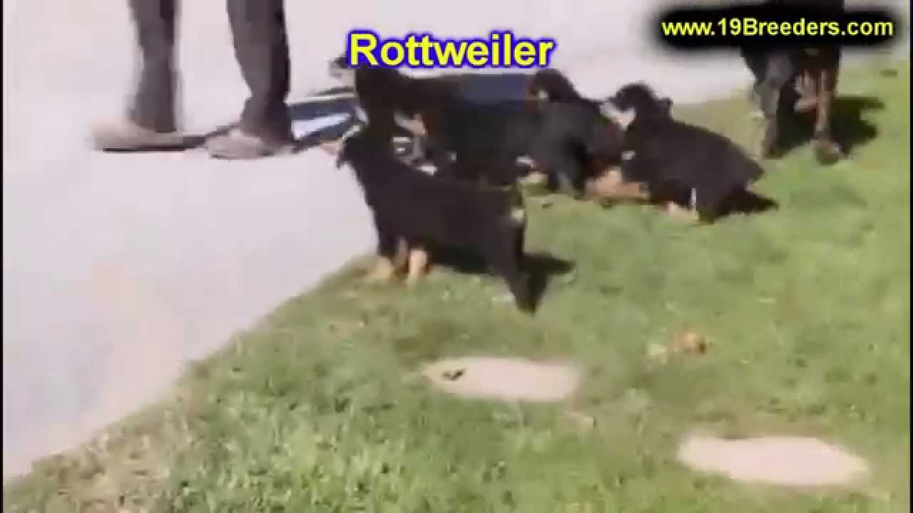 Rottweiler, Puppies, Dogs, For Sale, In Aurora, County ...