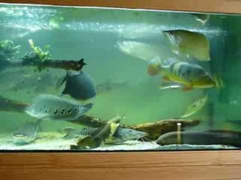 Gros poissons chez joel youtube for Gros poisson aquarium
