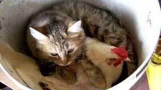 gallina cova gatti