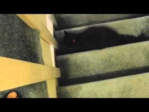 Extinct Chantilly cat Breed Found