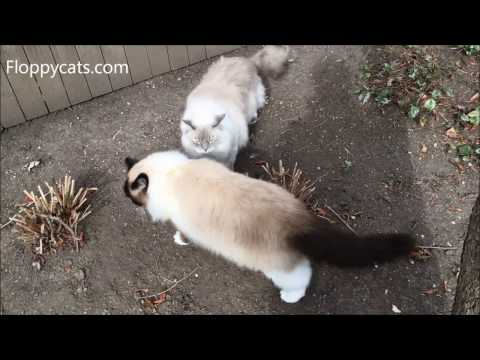 Ragdoll Cats Trigg and Charlie Hang Outside in February 2017 - ねこ - ラグドール - = ネコ - Floppycats