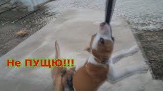 Тренируем силу укуса и челюсть Бойцового Ам стаффа учимся висеть training dog amstaff