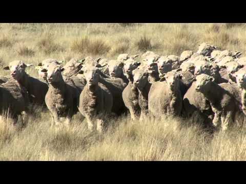 John Brakenridge - New Zealand Merino