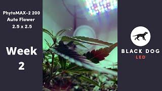 2.5 x 2.5 | Auto Flower | PhytoMAX-2 200 Week 2
