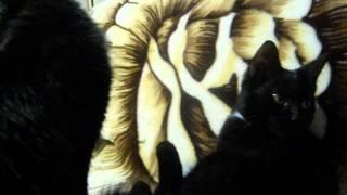 Как кошки любят друг друга