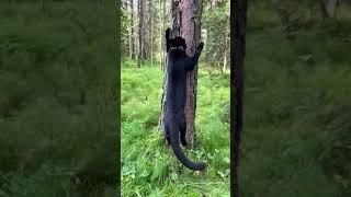 Panther Jump 🐆 black leopard jump 😈