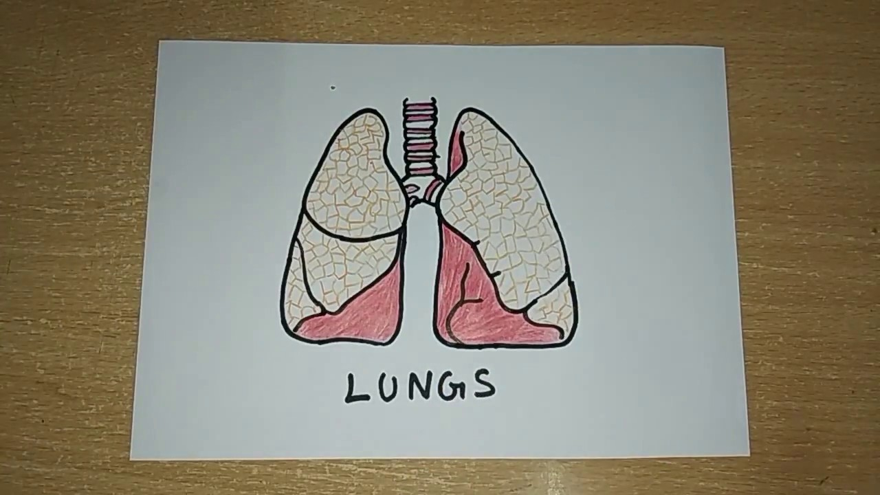 how to draw a lungs human organs drawing easy step by step drawing for kids [ 1280 x 720 Pixel ]