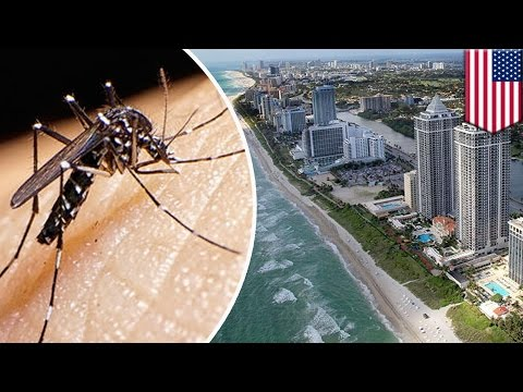 zika-in-america:-first-local-mosquitoes-infected-with-the-virus-found-in-miami-beach---tomonews