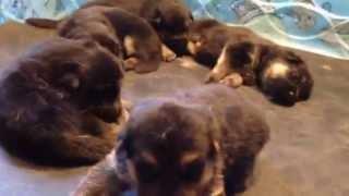 Puppies For Sale 16 Day Old Akc German Shepherd Puppies Vom Barron's Pride Gsd Newborn Puppies