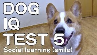 The Canine Iq Test 5 Social Learning 犬のiqテスト5 社会学習能力 Goro@welsh Corgi コーギー Dog K9