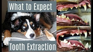 What to Expect - Dog Tooth Extraction