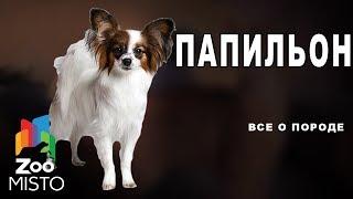 Папильон - Все о породе собаки | Собака породы папильон
