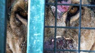 Löwin aus Zoo gerettet - doch sie hat ein Geheimnis!