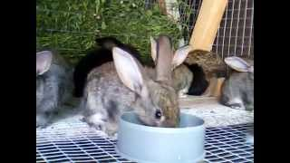 Натуральный дикий заяц живет с домашними кроликами