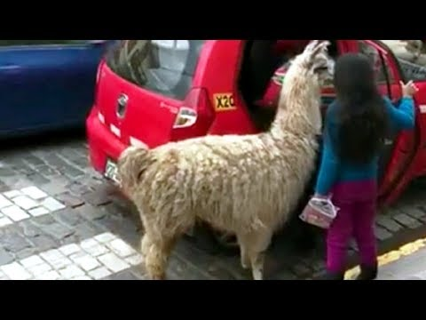 #Llama travels by taxi at #Cusco in #Peru and video becomes #Viral