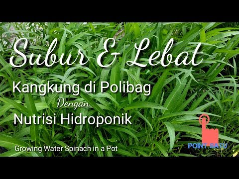 Kangkung Di Polibag Tumbuh Subur Dengan Nutrisi Hidroponik || Growing Water Spinach Ini A Pot