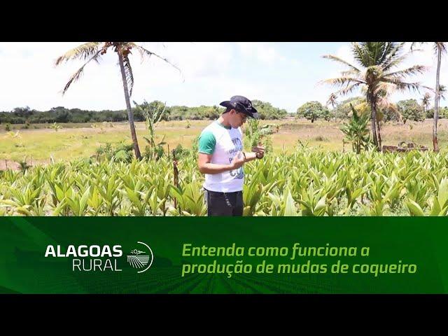 Entenda como funciona a produção de mudas de coqueiro