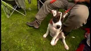 European Bull Type Terrier Show Hungary 2014