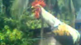 Ayam ketawa Super [ngakak]