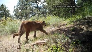 He was licked by a mountain lion, and instead of getting scared, he was fascinated