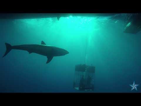 Star-Advertiser photographer captures great white sharks